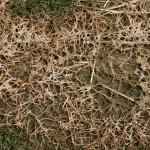 Pink snow mold